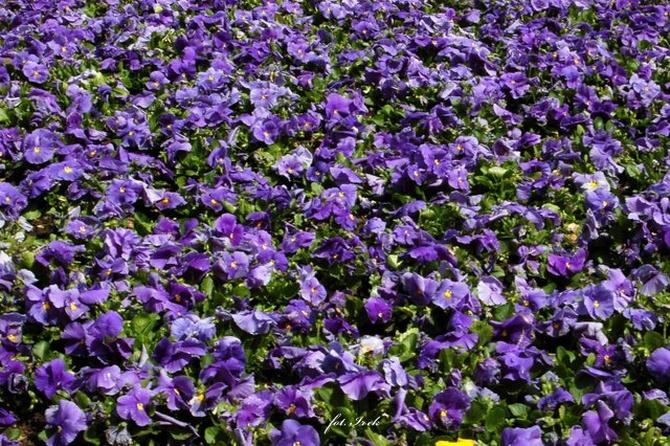 Dla tych co lubią niebieskie kwiatki