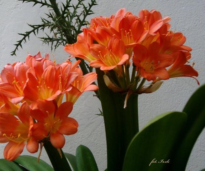 Kwiat kliwii