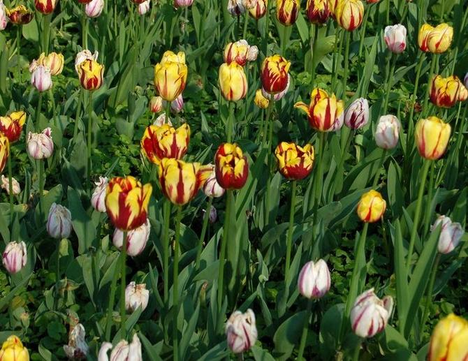 Odchodzące tulipany