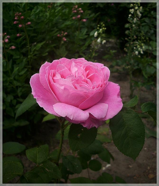Pierwsza różyczka...