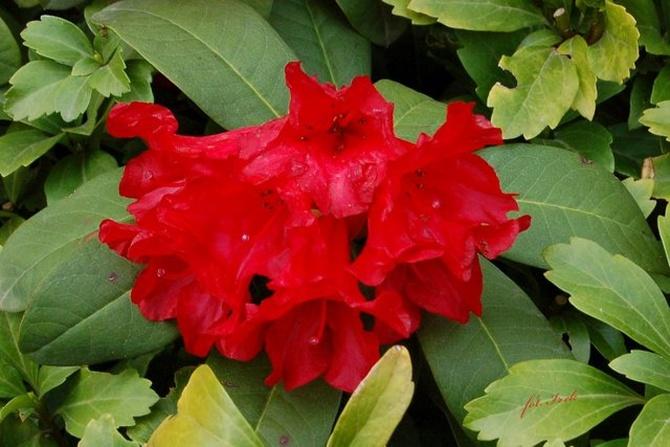 Rododendron w O.B.