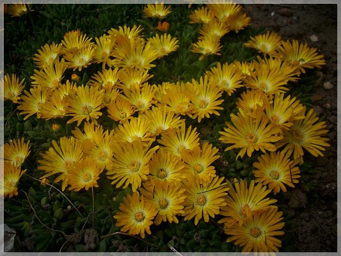Słonecznica żółta...