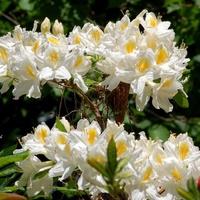 Biała azalia