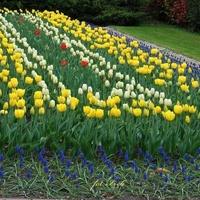 Dywan tulipanowy