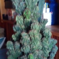 kaktus wielki