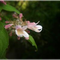 Kolkwicja, jej pierwsze kwiatki...