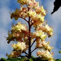 Kwiatostan kasztanowca