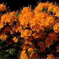 Kwitnący krzew w słonecznym kolorze