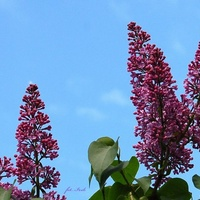Lilak na tle błękitnego nieba