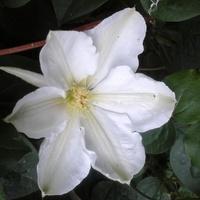 Plot  z bialymi  kwiatami