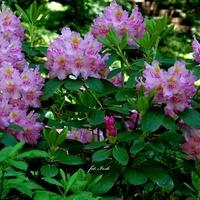 Krzew z rodziny rododendronów