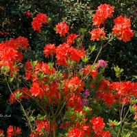 Różanecznik, Azalia czerwona