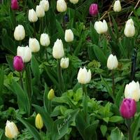 Różnokolorowe tulipany
