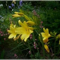Słoneczne liliowce...