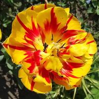Tulipanowa pogoda :)