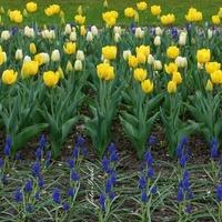 Tulipany jak żywe