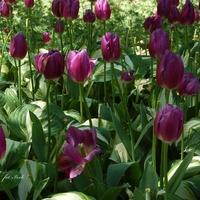 Tulipany schowały się w cieniu.