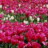 Tulipany w centrum stolicy