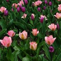 Tulipany w dwóch kolorach w O.B.