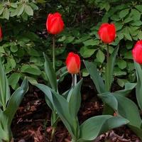 Tulipany w O.B.
