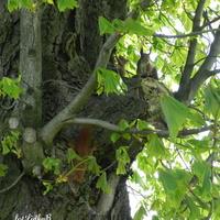 Wiewiórki rude kitki