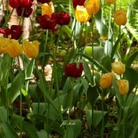 Zasypiają już tulipany