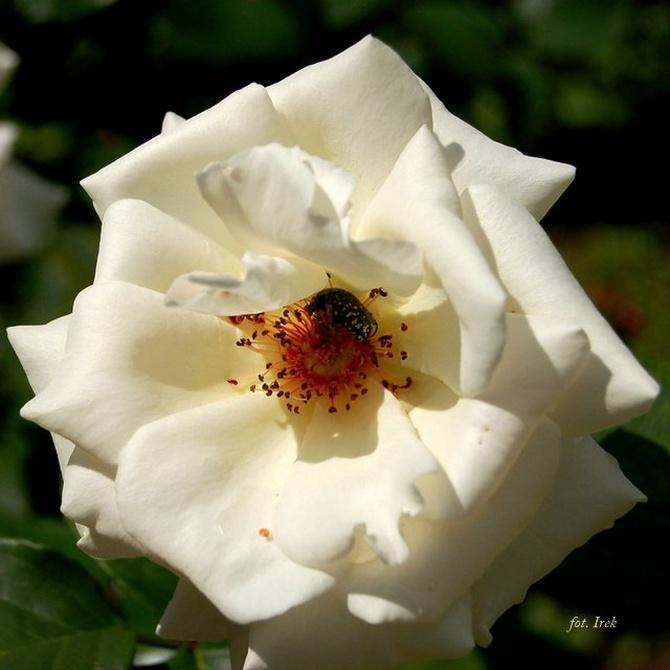 Biała róża dla ochłody w południe