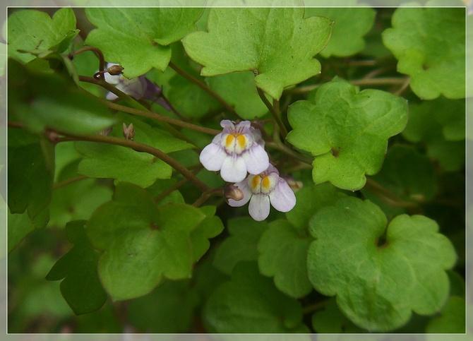 Cymbalaria bluszczykowata...