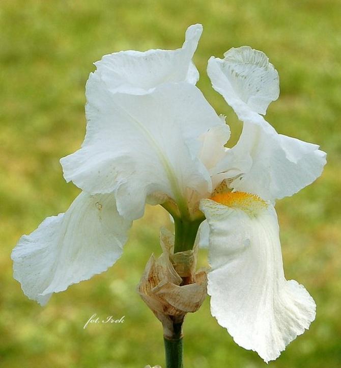 Irys biały, kosaciec