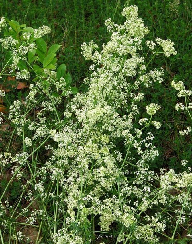Kwiat łąkowy