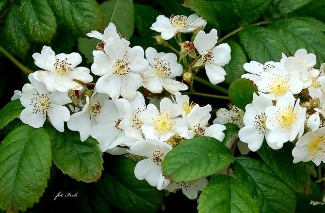 Gałązka białej róży