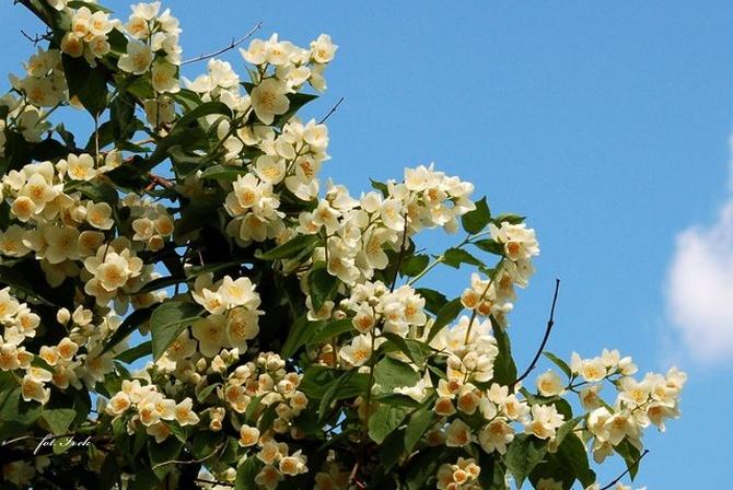 Kwitną jaśminowce