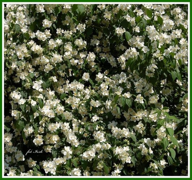Mocno kwitną jaśminowce
