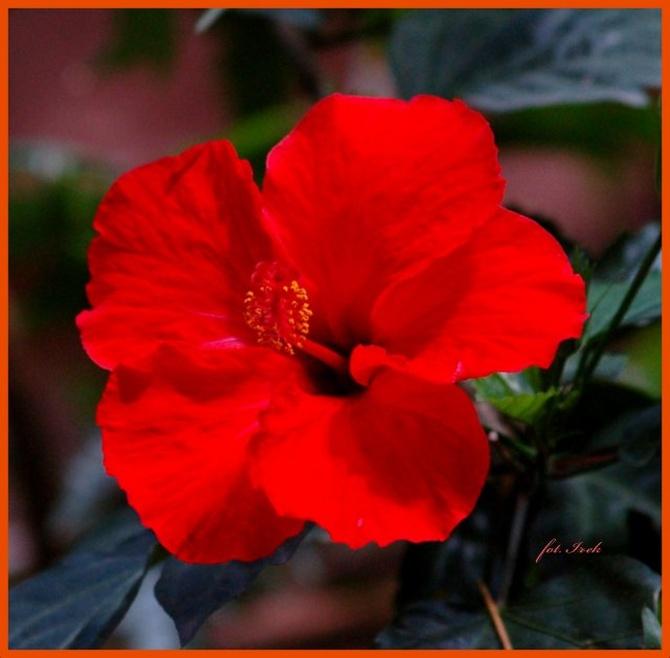 róża chińska, hibiskus