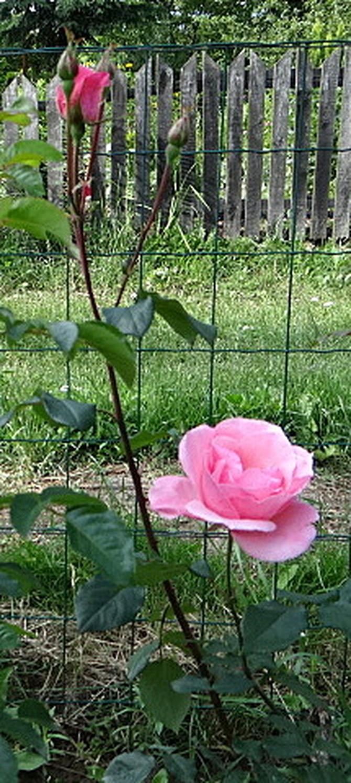 Róża,która oparła się chorobie.