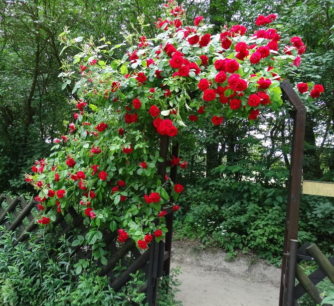 Róże dla Was i dla naszych piłkarzy :)