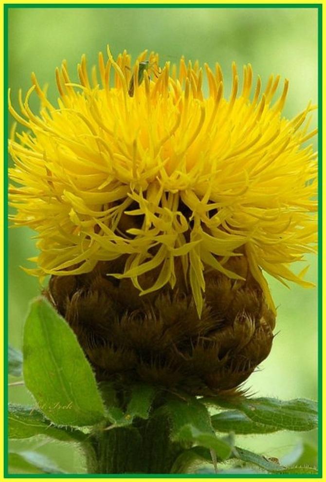 żółta czuprynka