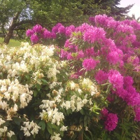 30 letni rododendron