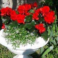 Begonia czerwona i biala smagliczka