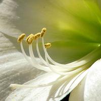 Biały amarylis :-)