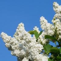 Biały Bez I Niebo :