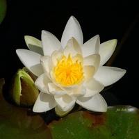 Dla ochłody, kwiat wodny