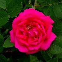 Królowa kwiatów
