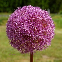 Kula lilaróż