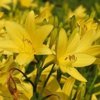 Liliowiec żółty...