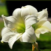 Mój biały amarylis :)