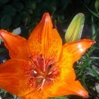 Pierwsza lilia :)