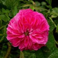 Róża na moim osiedlu