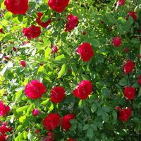 Róża obsypana kwieciem.