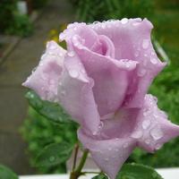 Róża ....piękna